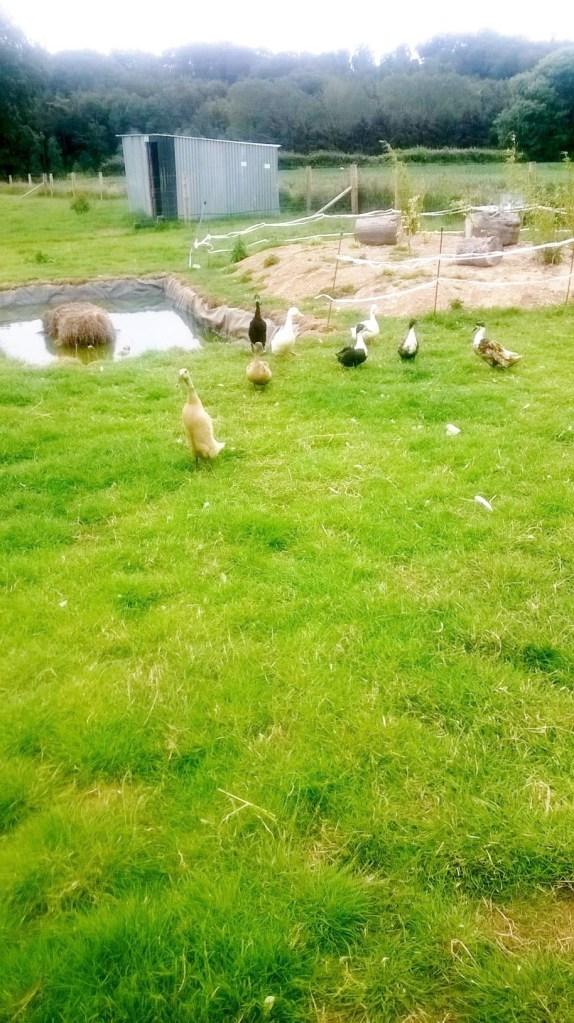 ducks wexford