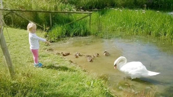 Cabinteely Park ducks